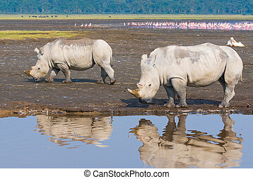 noshörningar, in, insjö nakuru nationell park, kenya