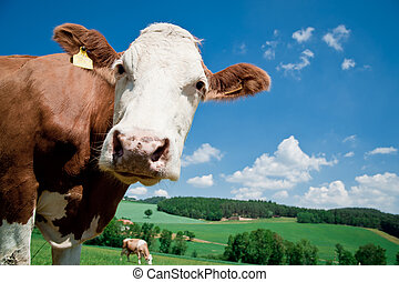Nosy Cow looking at the Camera, taken in Upper Austria