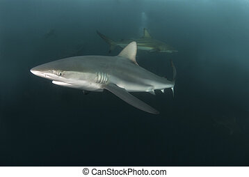 A close up on a nearing blacktip shark, Kwa Zulu Natal, South Africa
