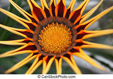 not dissolve until the end of Gazania flower in the morning, close-up