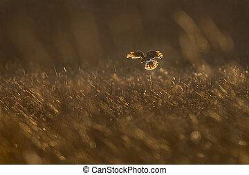 Nothern Harrier in Golden Light
