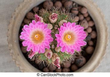 Notocactus Mammulosus purple Cactus flower