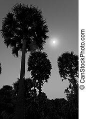 noturna, árvore, lua, palma, sob, açúcar