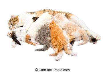 nourrit, chat, cinq, chatons