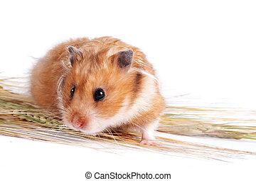 nourriture, hamster