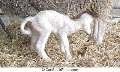 nouveau né, agneau