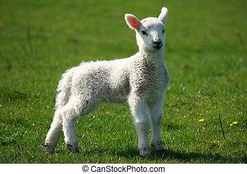 nouveau né, agneau, pré, debout