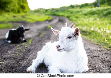 nouveau-né, blanc, herbe, chèvre, mensonge