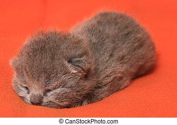 nouveau né, gris, britannique, chaton