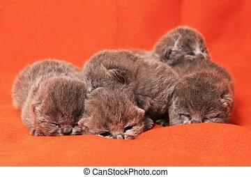nouveau né, gris, britannique, chatons