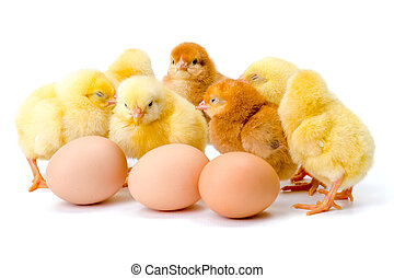 nouveau né, poulets, oeufs, groupe, jaune