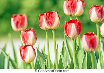 nouveau, rouges, tulipes