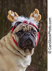 nouveau, year., a, chien, de, les, carlin, race, dans, a, nouveau-année, suit.