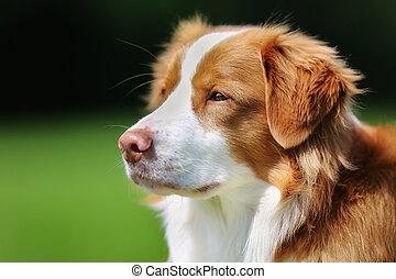 Nova Scotia Duck Tolling Retriever dog
