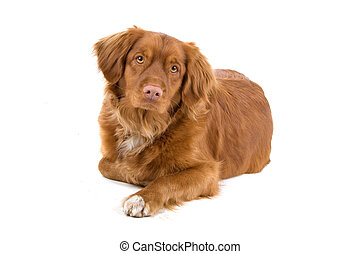 Nova scotia duck-tolling retriever - Front view of a nova...