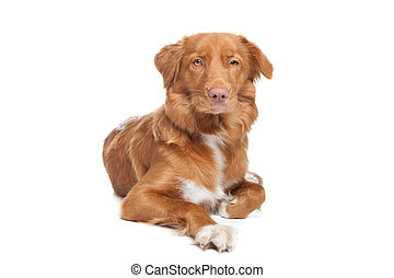 Nova Scotia Duck Tolling Retriever in front of white