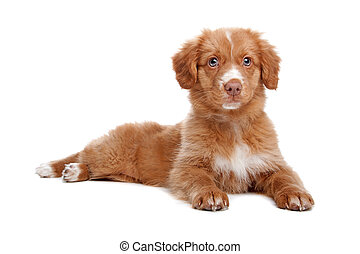 Nova Scotia Duck Tolling Retriever puppy in front of white