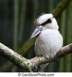 novaeguineae, dacelo, reír, kookaburra