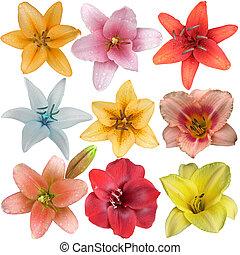nove, differente, giglio, isolato, collezione, fiore, teste, bianco
