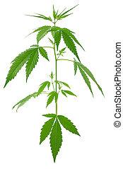 novo, crescendo, plantas, (marijuana), cannabis, jovem