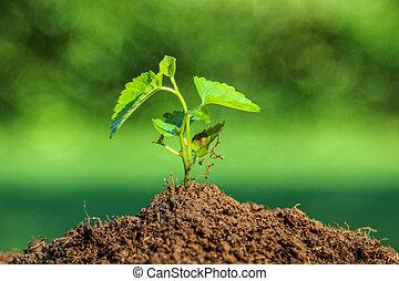 novo, planta, emergir, de, a, solo