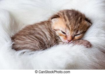 nowo narodzony, spanie, brytyjski, niemowlę, kot