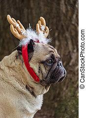 nowy, year., niejaki, pies, od, przedimek określony przed rzeczownikami, mops, hodować, w, niejaki, nowy-rok, suit.