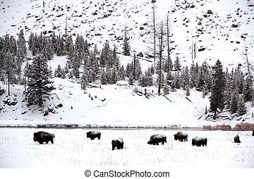 np, yellowstone, büffel, usa, herde