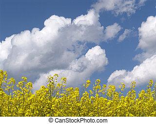 nuages, colza