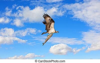 nuages, serres, fish, voler, grand, osprey