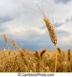 nuages, sur, blé, orage, field.