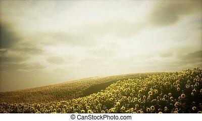 nuageux, champ tournesol, ciel