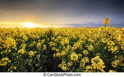 nubi, fondo, canola, giallo, seme ravizzone, campo, tramonto, paesaggio