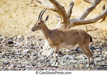 Nubian ibex Capra nubiana