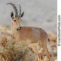 Nubian Ibex (Capra nubiana)