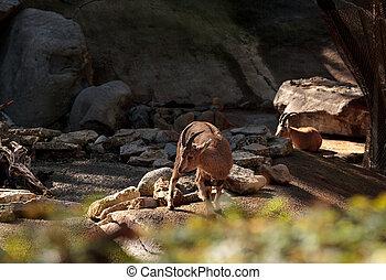 Nubian ibex, Capra nubiana