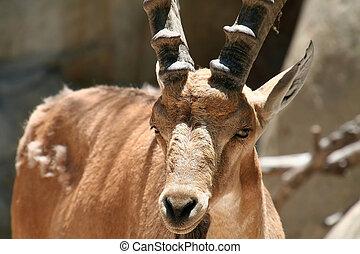 nubian ibex close up