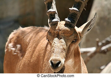 nubian ibex close up