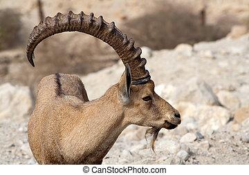 Nubian ibex in Ein Gedi at the Dead Sea. Israel