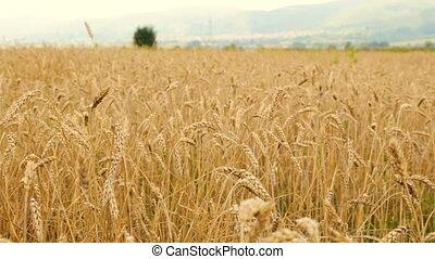 nublado, trigo, dia, campo
