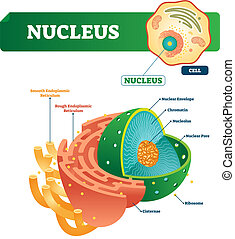 Nucleus vector illustration. Labeled diagram with isolated...
