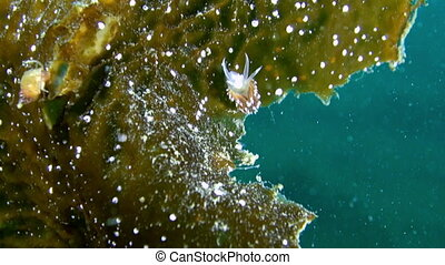 Nudibranch slug underwater on seabed of Barents Sea. Diving...