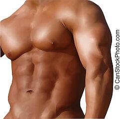 nudo, torso., vettore, muscolare, uomo