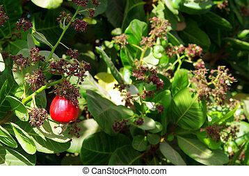 nuez, 2, árbol, anacardo