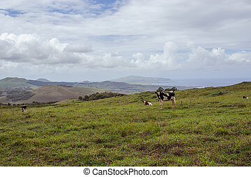 nui, vaca, isla,  De,  pascua,  ISLA,  rapa, Pascua