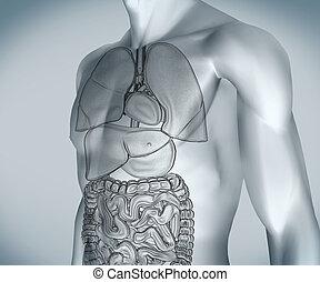 numérique, gris, organes, corps