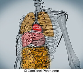 numérique, organes, squelette