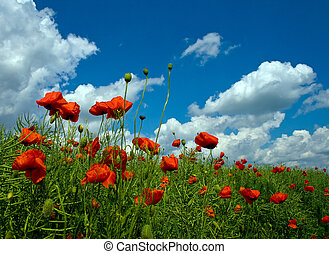 numeroso, rojo, amapolas, en, campo verde