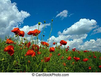 numeroso, vermelho, papoulas, ligado, campo verde