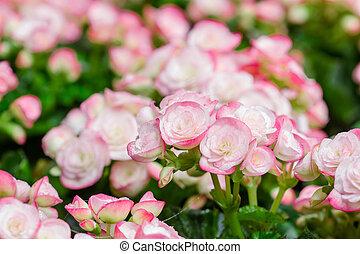 Numerous bright flowers of tuberous begonias (Begonia tuberhybrida)